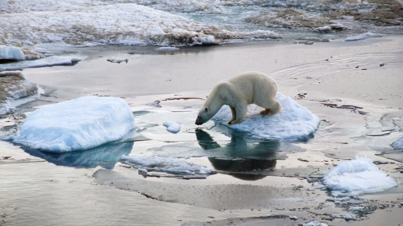 Norvège: amendé pour avoir réveillé un ours blanc