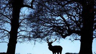 Grisons: les chasseurs ont dépassé leur record du nombre de cerfs abattus