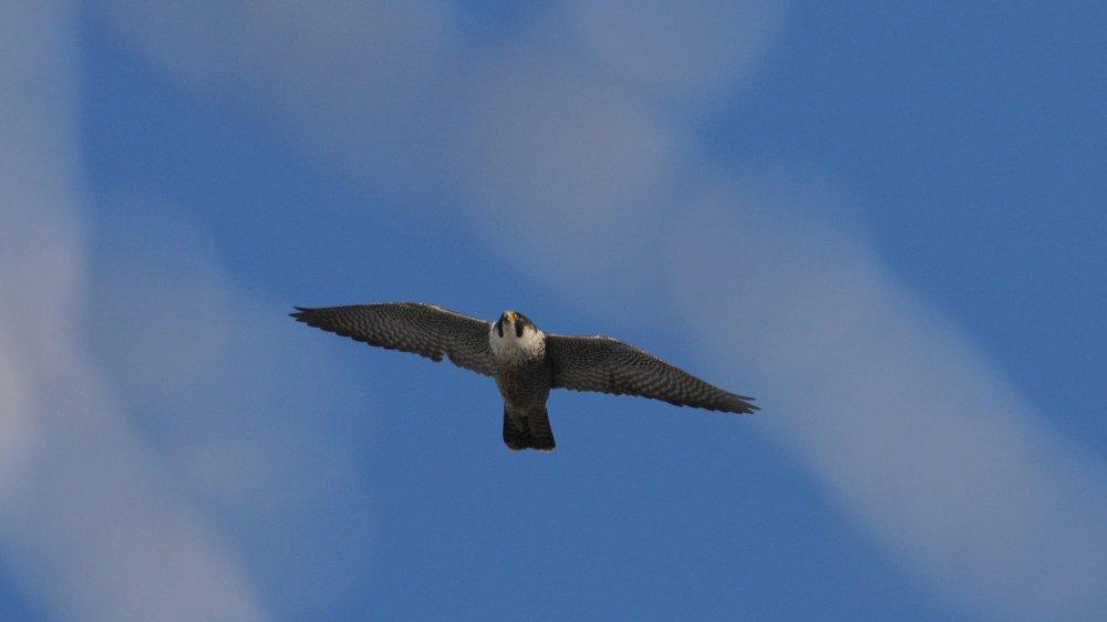 Un faucon pèlerin en vol sur le Jura suisse.