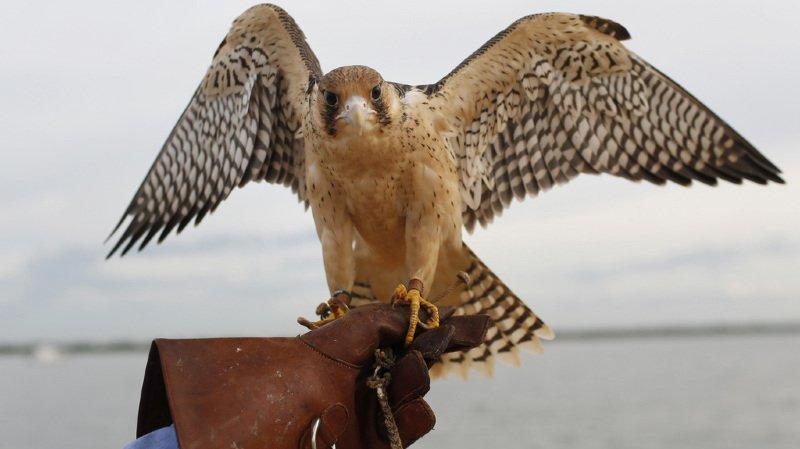Biodiversité: le faucon pèlerin, oiseau de l'année 2018