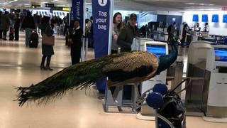 Etats-Unis: elle essaie d'embarquer dans l'avion avec son paon, en vain