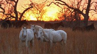 Faune: une étude révèle qu'il n'existe plus de chevaux sauvages sur Terre
