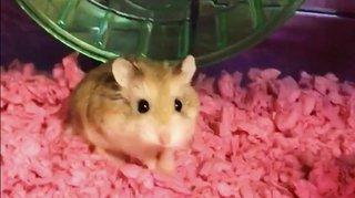 États-Unis: son hamster refusé à bord, elle le jette dans les toilettes