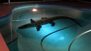 Etats-Unis: un alligator de plus de trois mètres s'invite dans leur piscine