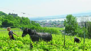 Le vigneron qui collabore avec un cheval