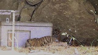 Un jeune tigre de Sibérie euthanasié au zoo Walter à Gossau (SG)