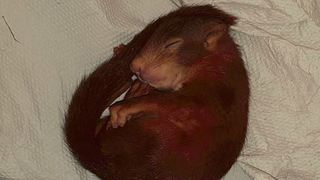 Allemagne: poursuivi par un bébé écureuil, il appelle la police à l'aide