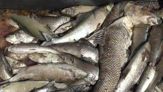 Surmortalité de poissons dans le Rhin due aux grosses chaleurs