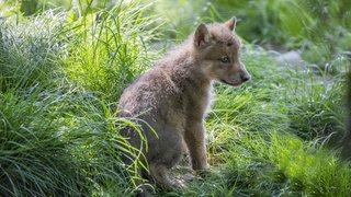 Grisons: un troisième louveteau fait une chute mortelle