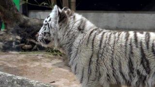 Trois jeunes tigres blancs ont emménagé au Siky Park à Crémines