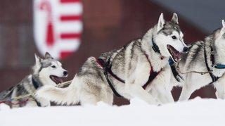 Plus de 800 chiens de traîneaux ce week-end à Saignelégier