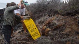 Près de 1500 iguanes réintroduits sur une île des Galapagos