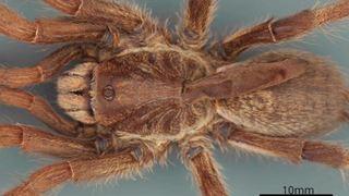Une nouvelle espèce d'araignée à corne découverte en Angola