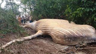 Brésil: la carcasse d'une baleine à bosse échouée en forêt intrigue les biologistes