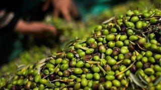 Des milliers d'oliviers sauvés par le parrainage