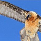 Journée internationale d'observation du gypaète