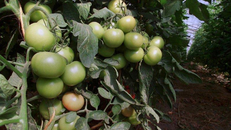 Université de Neuchâtel: quand la mouche blanche dupe des plants de tomates