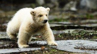 Une petite oursonne polaire a eu droit à sa première sortie au Tierpark de Berlin