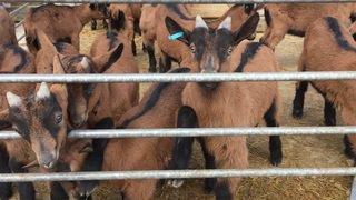 Les chèvres des Steffen à Lignières
