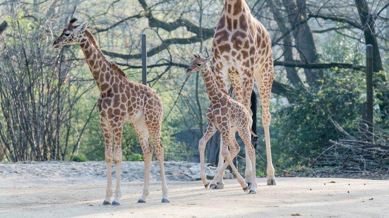 Naissance d'unegirafeau zoo de Bâle