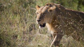 Afrique du Sud: un homme se fait mordre par une lionne qu'il tentait de caresser