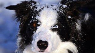 Canada: un chihuahua sauvé par un border collie alors qu'il allait se faire écraser