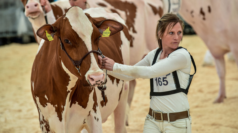 Une bonne vache neuchâteloise donne cinq fois plus de lait aujourd'hui qu'il y a 100 ans