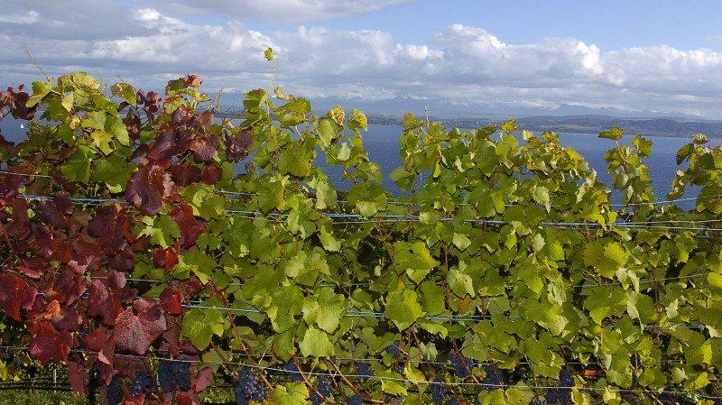 Les vignes et domaines agricoles propriété de la Ville de Neuchâtel passeront tous progressivement au bio.