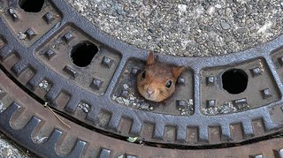 Allemagne: coincé dans une bouche d'égout, un écureuil s'en sort indemne