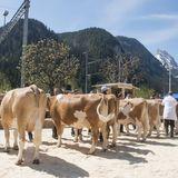 Exposition des vaches en printemps et automne 2019