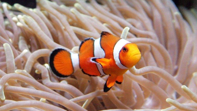 Le poisson-clown vit près des récifs coralliens, où la lumière artificielle ne cesse de se renforcer.
