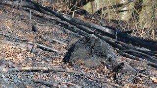 Une coupe rase après l'incendie de forêt à Champ-du-Moulin