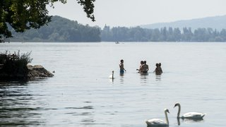 Argovie: le caïman du lac de Hallwil qui a tenu la Suisse en émoi serait en réalité... un silure