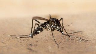 Des moustiques-tigres découverts à Schaffhouse: cinquième région de Suisse touchée
