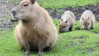Naissances rares au zoo de Zurich: des petits flamants roses du Chili et des capybaras