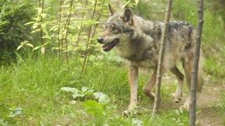 Point de vue de Sera Pantillon: «Loi sur la chasse: paradoxe et absurdité»