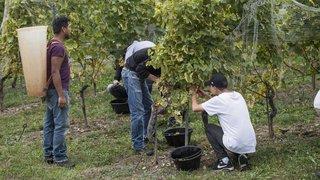 Neuchâtel: payé 15 francs de l'heure, un vendangeur dénonce un salaire «d'esclave»