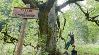 Tilleul de Buttes: le salut des vieilles branches passe par les haubans