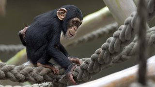 Naissances chez les chimpanzés et les okapis du zoo de Bâle