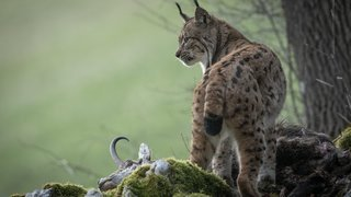 Un photographe neuchâtelois nous emmène sur les traces du lynx