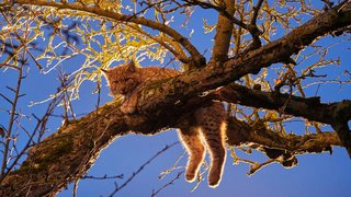 Areuse: un jeune lynx se réfugie dans un pommier