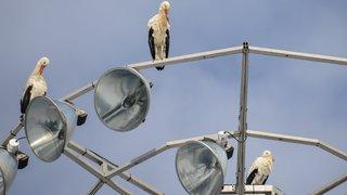 Neuchâtel: «Les cigognes bientôt par chez nous!»