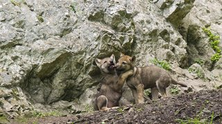 Animaux: comme les chiens, les louveteaux savent rapporter la balle